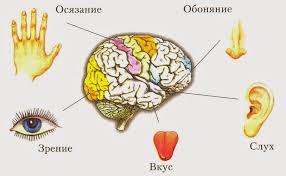 Пять чувств зрение слух осязание обоняние вкус Органы чувств  5 чувств человека