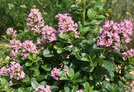 Winter Flowering Pink Shrub LoveShrub With Pink Flowers