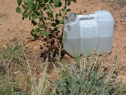 drip irrigation system use several jugs for large trees most trees need at least 10 gallons a week during the summer check with your local garden