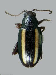 Corn Flea Beetle Common Flea Beetles Of North Dakota Gerald M