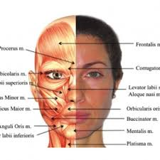 face anatomy gallery diagram of human face anatomy human charts