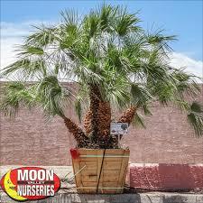 fan palm. mediterranean fan palm