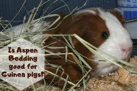 is aspen bedding good for guinea pigs