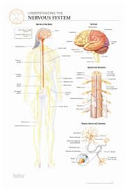 Body Scientific International Post It Anatomy Of Nervous System Chart Teaching Supplies Classroom Safety