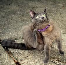 fleas could be behind your cat s itchy skin