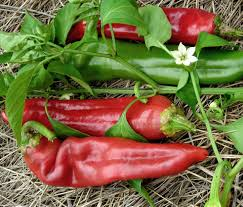Image result for big jim chili pepper plants