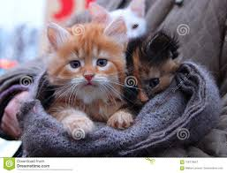 cute baby cats for sale. Unique Cute Kitten For Sale In Scarf Foxyred Orange White Kitten Boy And Black Brown  Girl Sad Red Cat Orange Baby Tiger Cat Kitty Cute Funny  Throughout Baby Cats For Sale