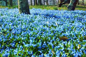 Image result for ورود باللون الأزرق
