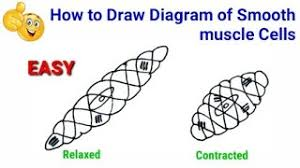Smooth muscles, cardiac muscles and skeletal muscles. How To Draw Smooth Muscle Diagram How To Draw Smooth Muscle How To Draw Smooth Muscle Cells Youtube