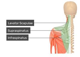 A) includes t… dissection is used to study the structures without the need of… anatomy. Trapezius Muscle