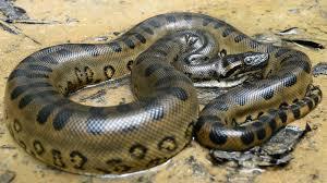 amazon rainforest animals anaconda. Green Anaconda In Water Throughout Amazon Rainforest Animals Cruises