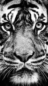 white tiger iphone 5 wallpaper. Exellent White Black And White Tiger Inside Iphone 5 Wallpaper L