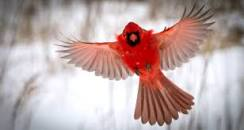 Image result for reddest cardinal i've ever seen