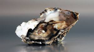 Oyster Identification Chart How Do Oysters Make Pearls Howstuffworks