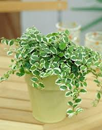 6 creeping fig love growing plants indoors some of the best indoor vines and climbers that are easy