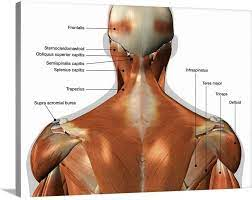 The splenius muscles originate at the midline and run laterally and superiorly to their insertions. Amazon Com Labeled Anatomy Chart Of Neck And Back Canvas Wall Art Print Artwork Posters Prints