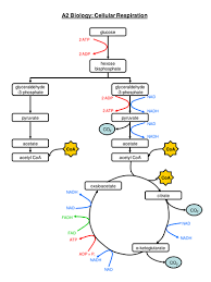 Complete Respiration Flow Chart College Chart Flow