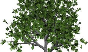 pecan tree clip art. Interesting Tree Pecan Tree Clipart 12 To Pecan Tree Clip Art E