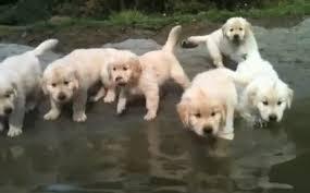 golden retriever puppies swimming. Plain Retriever Daily Cute Golden Retriever Puppies Take Their First Swim On Swimming V