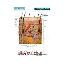 Skin Cross Section Labeled Body Part Chart Removable Wall Graphic