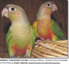Green Cheeked Conure Mutations Beauty Of Birds