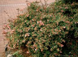 Identification  What Is This Pinkflowering Shrub In Shrub With Pink Flowers
