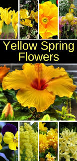 these yellow spring flowers will energize your garden spring springflowers gardening