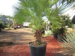 fan palm. european fan palm