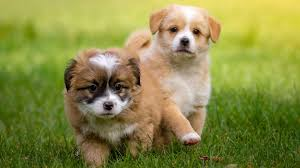 cute two puppies wallpaper hd