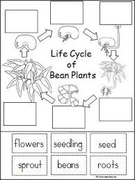 Green Bean Growth Chart Life Cycle Of A Bean Plant Activity Life Cycles