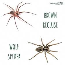 The Brown Recluse Spider Is Commonly Mistaken For The Wolf