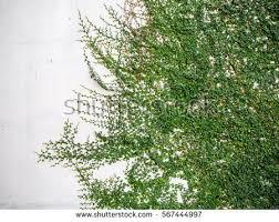 Climber Plants  GreenTV  20000 Videos On Gardening In IndiaWall Climbing Plants India