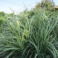 Tall Decorative Grass Ornamental Grasses Dallas Garden Buzz
