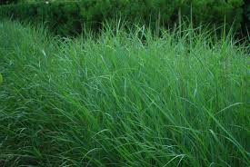 wild grass texture. Panicum Virgatum Wild Grass Texture \