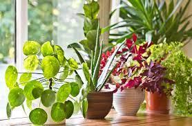Предлагаме ви няколко стайни растения, които всеки може да се запази живи и алоето харесва стайни температури около 21 градуса по целзий и много слънце. Kakvi Cvetya Sa Polezni Za Shranenie V Spalnyata Novite Roditeli