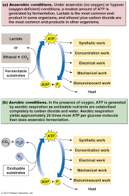 aerobic and anaerobic conditions
