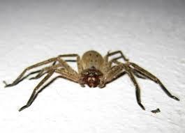 Australian House Spiders Chart Spiders Of Sydney Australia