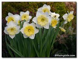 echo and narcissus summary the narcissus flower