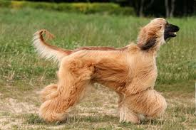 afghan hound running with hair flowing these long locks don t shed