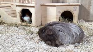 hemp bedding for guinea pigs aubiose