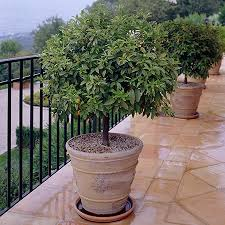 Kumquat Tree Stock Image Image Of Ingredients Garnish  50147301Kumquat Tree Not Bearing Fruit