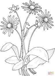 Small Picture Daisy Asteraceae coloring page Free Printable Coloring Pages