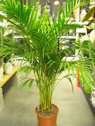 Picture of areca palm in store