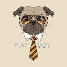 busy pug boss dog busy pug boss dog