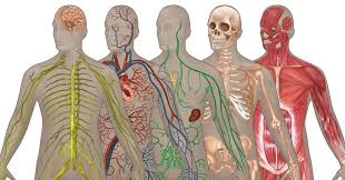 Body Systems Chart 10 Major Organ Systems In The Human Body Bodybuilding Wizard