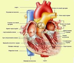 Изображение Сердце человека jizn jpg altermed вики fandom  Сердце человека jizn jpg