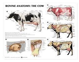 Bovine Anatomy Laminated Chart Lfa 99014