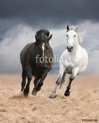 wild white horses running free. Contemporary Horses Black And White Horses Running Wild For Wild White Horses Running Free E