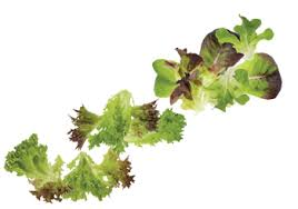 Lettuce Types Chart How To Choose Grow The Best Lettuce Tips For Every