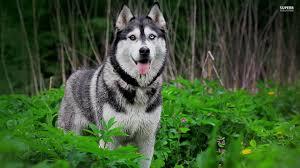 odd eyes siberian husky dog